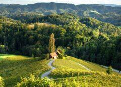 Vigneto in Slovenia